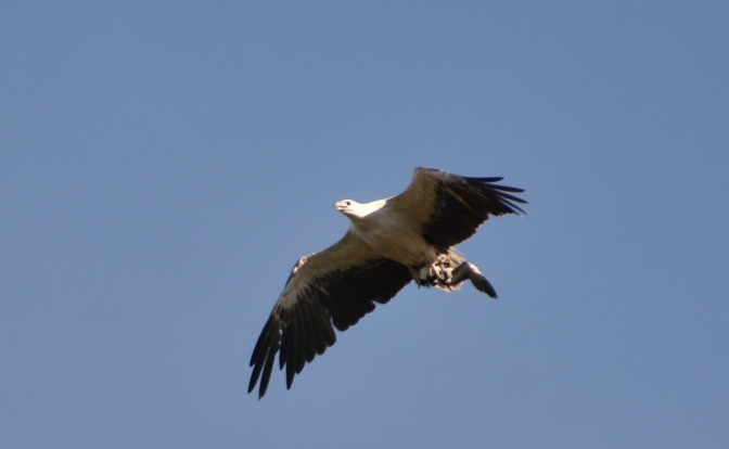 Is this a Sea Eagle?
