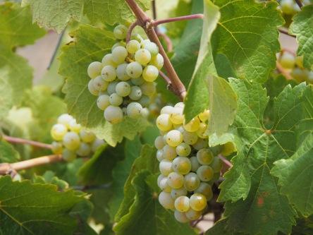 Sauvingion Blanc Grapes