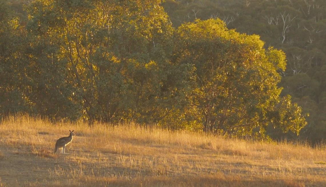 Kangaroo at sunrise