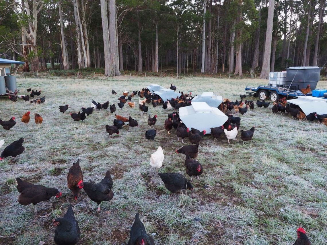 Frosty Morning at Happy Chook Farm