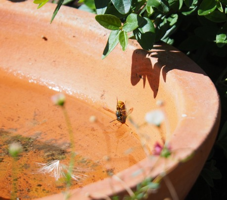 Honey bees having a drink