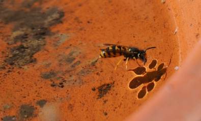 Honeybee having a drink and a swim