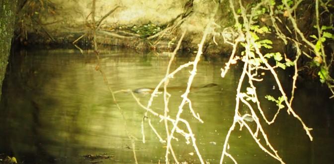 Platypus sighting