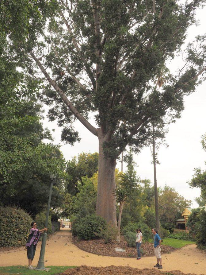 Bunya Pine, biggest tree in NSW