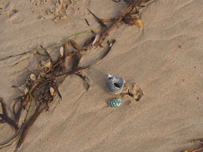 Striped sea shells