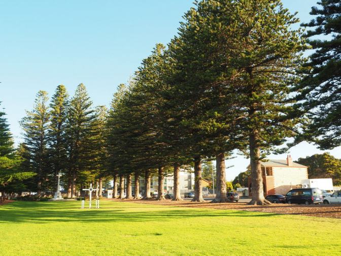 Norfolk Island Pines at Victor Harbour