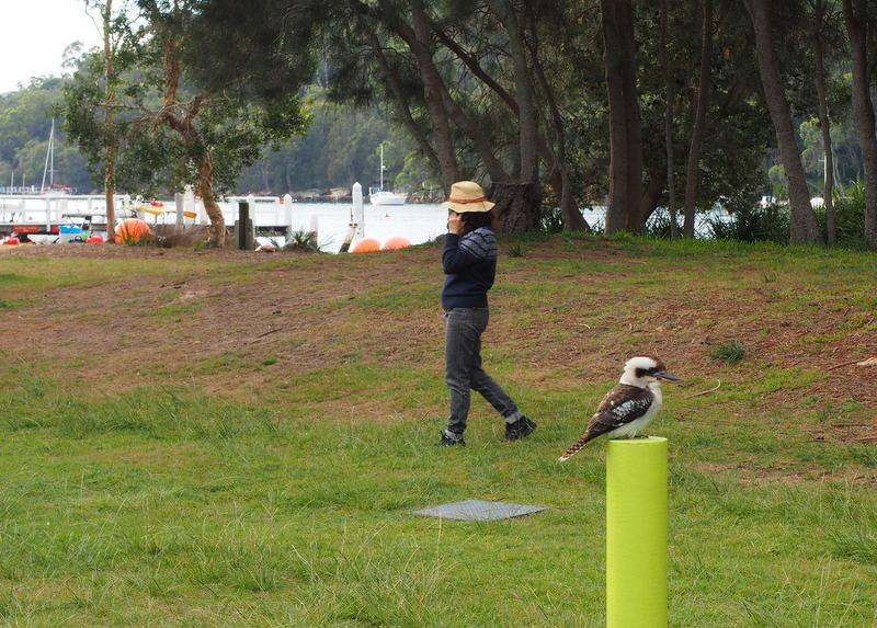 Unimpressed Kookaburra