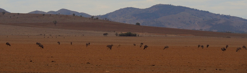 A Mob of Emus