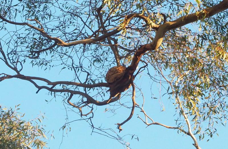 Chough Nest
