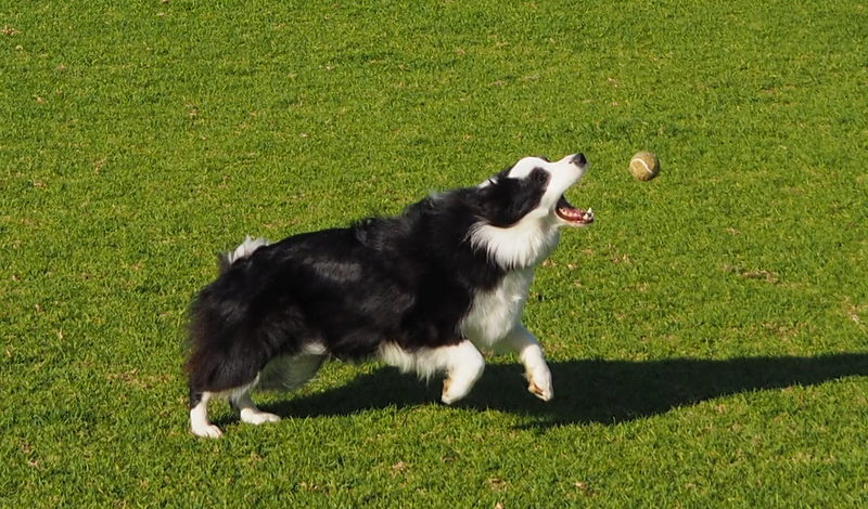 Tilly catches the ball