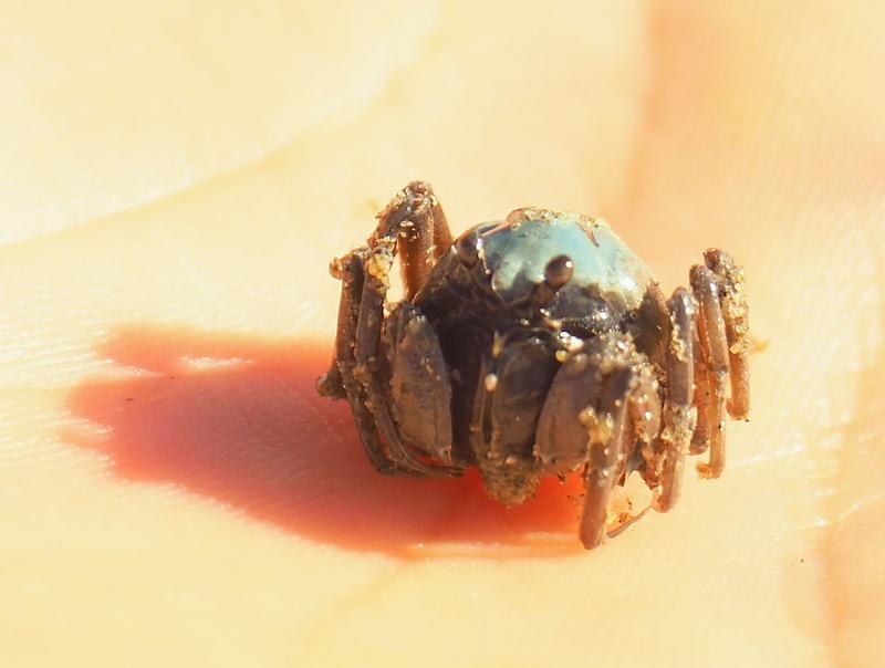 Mictyris longicarpus (Soldier Crab)