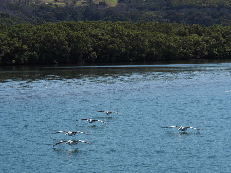 Pelican formation flying