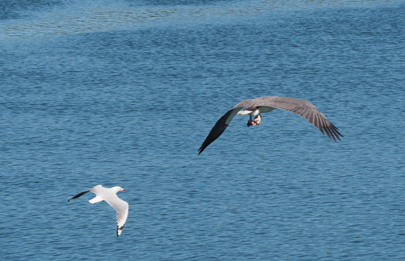 Seagull on the stern Captain,. closing fast.