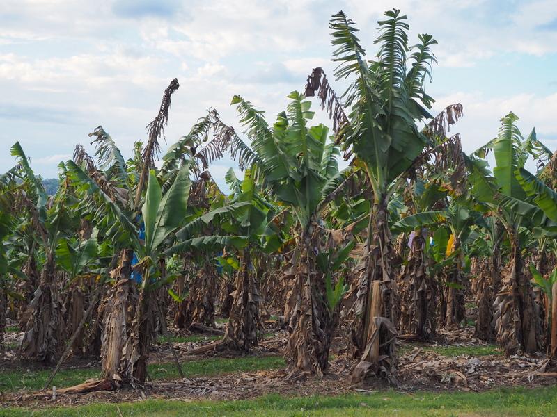Banana farm in Uralba