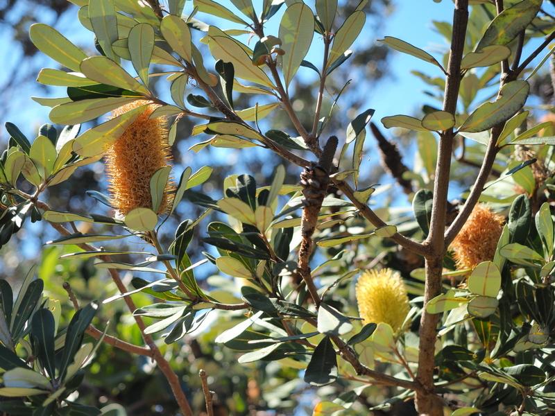 Banksia plants were in abundance