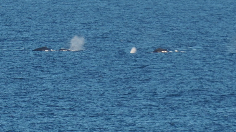 The whales having fun
