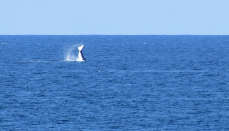 Whales breaching