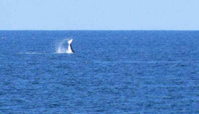 Whales breaching