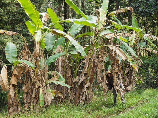 Forest Road Wild Banana Trees (and Jenni)