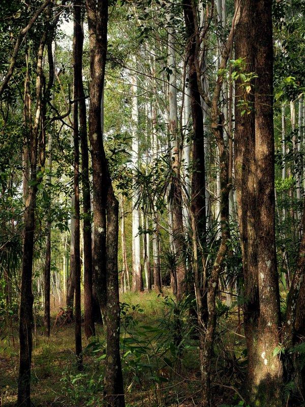 Eucalyptus trees shining in the sunlight
