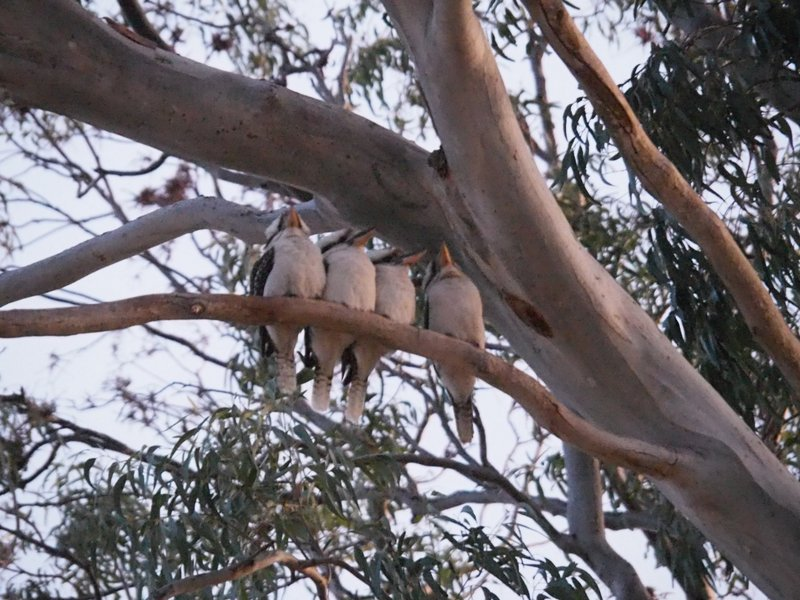 Kookaburras singing goodnight
