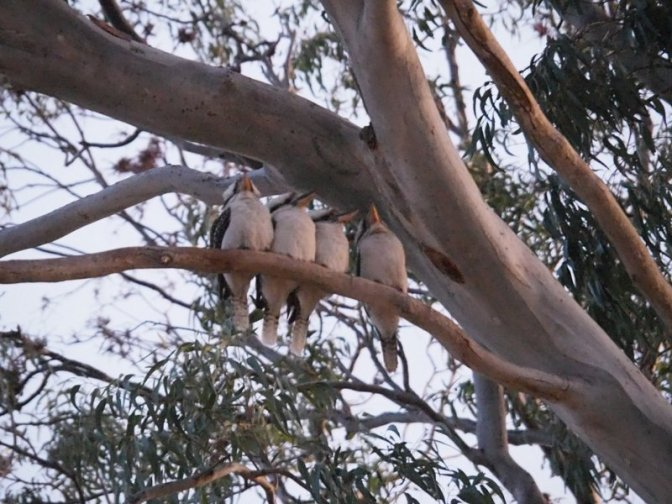 Kookaburras singing goodnight