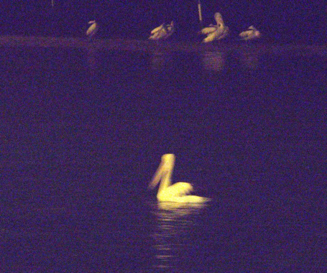 Pelicans Night Fishing