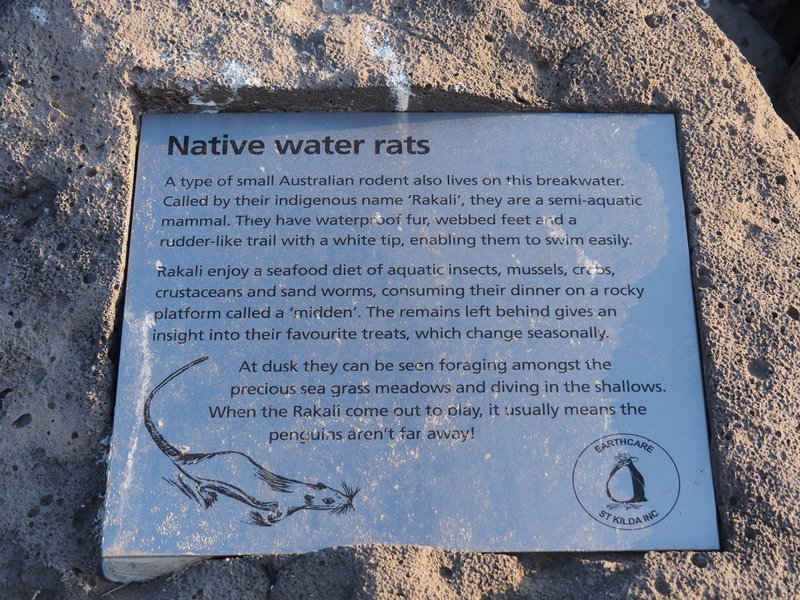 "Rakali, ""Australian Water Rats"""
