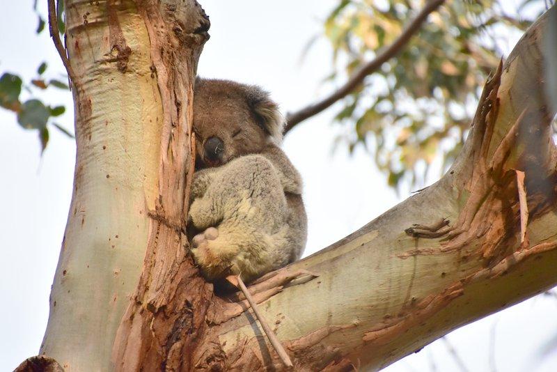 Another sleeping Koala