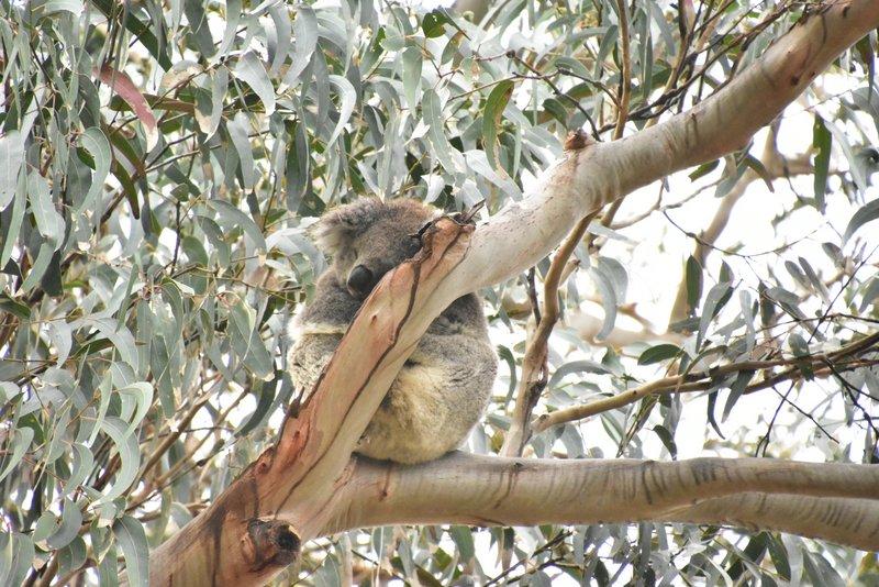Yet another sleeping koala