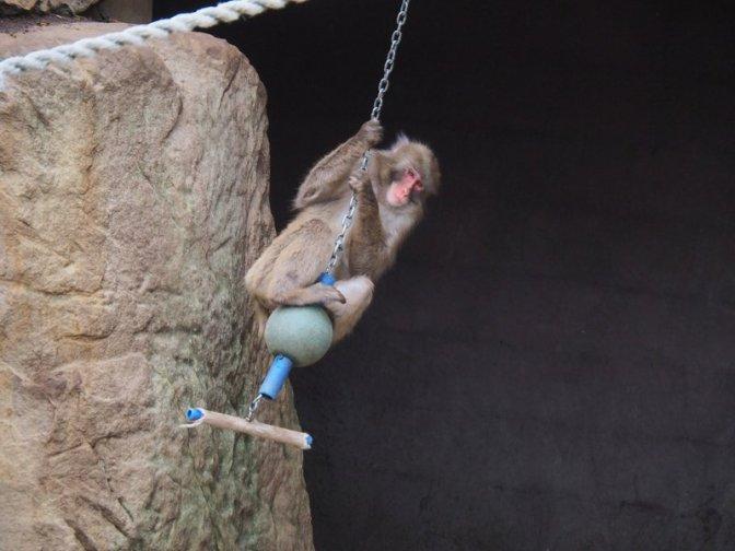 Macaque Monkey having fun