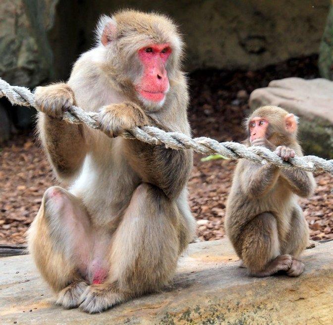 Macaque Monkey Enclosure