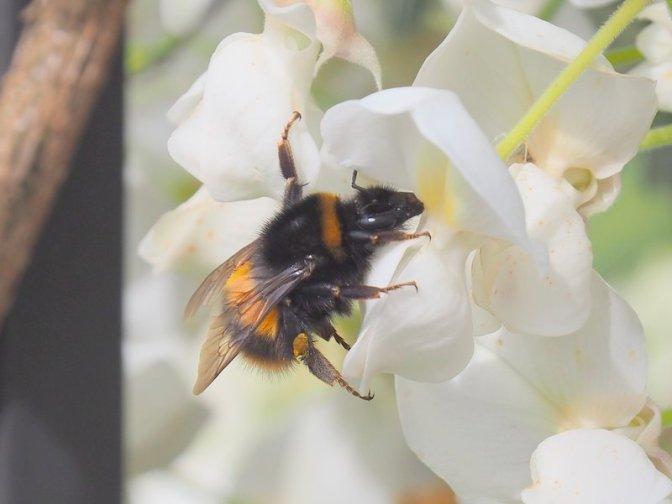 Bumblebee having lunch