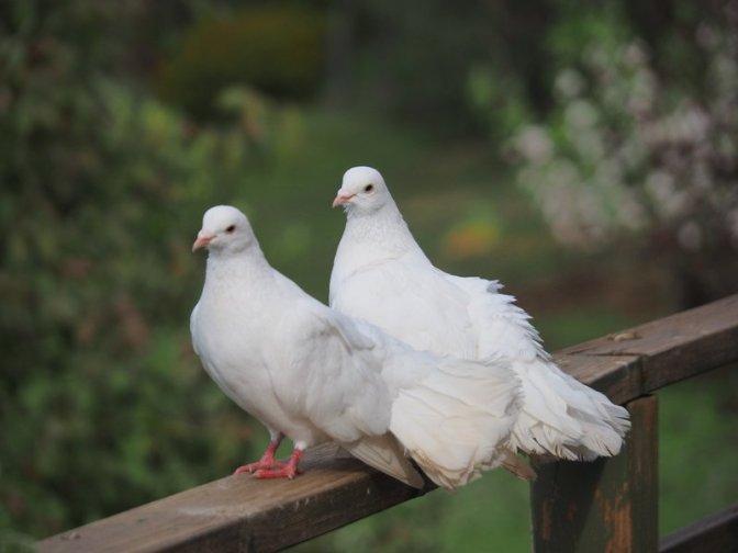 Pet Doves