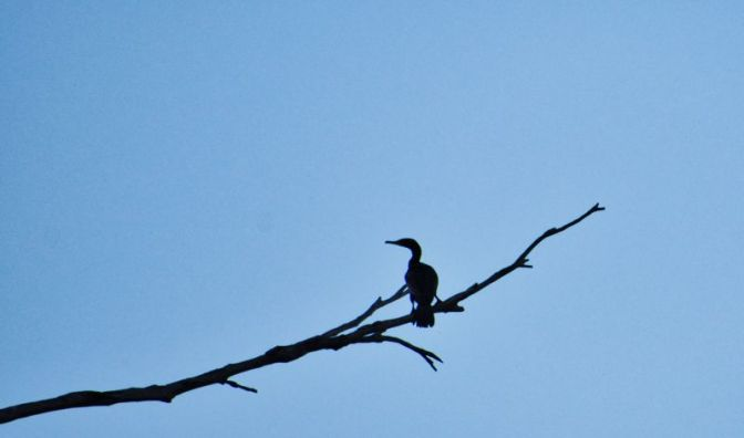 The Heron waits