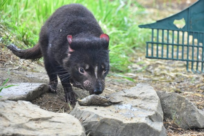 Tasmanian Devils can hypnotise small birds