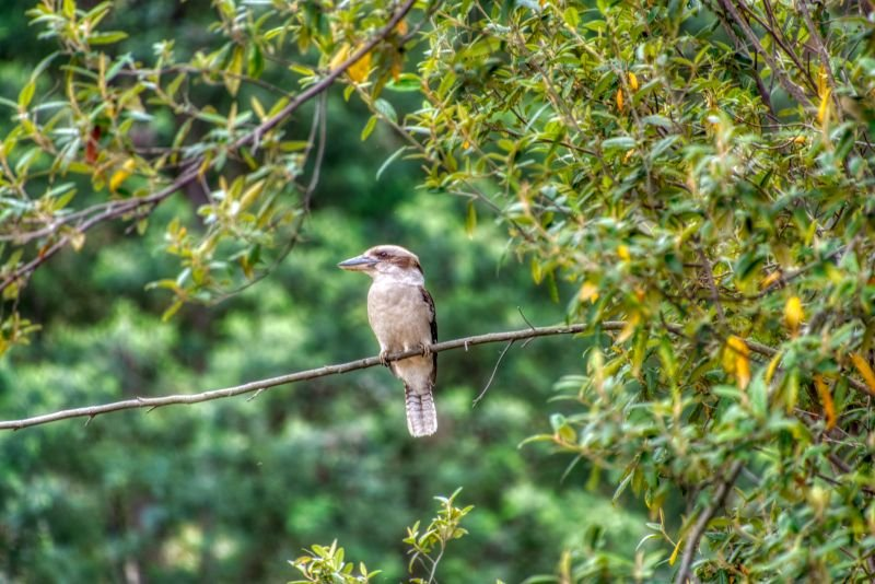 Kookaburra sits and waits