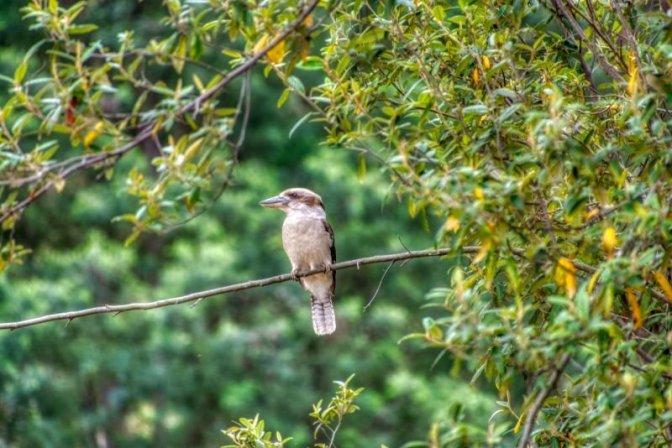 Kookaburra sits and waits