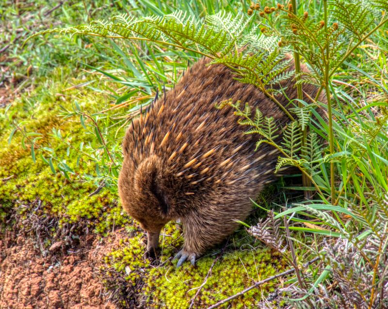 Echidna digging for grubs